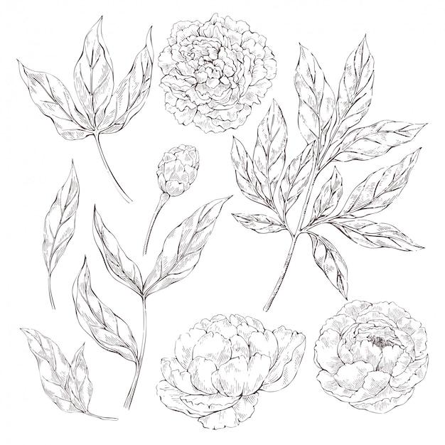 Peony bloemen elementen