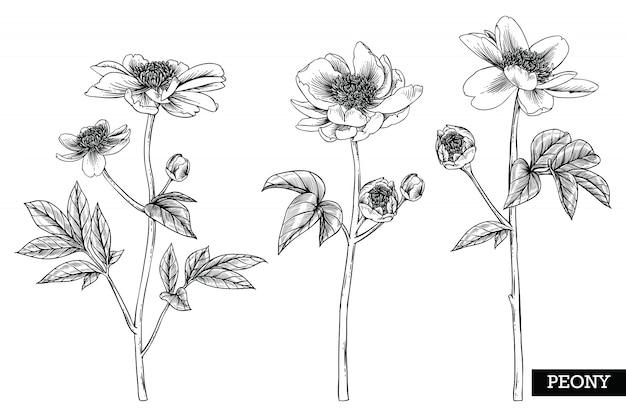 Peony leaf en bloemtekeningen