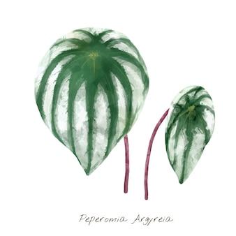 Peperomia argyreia-blad op witte achtergrond wordt geïsoleerd die