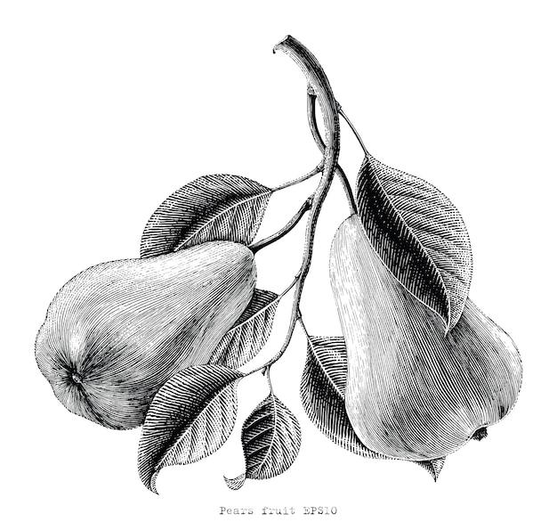Peren fruit hand vintage gravure illustratie puttend uit witte achtergrond
