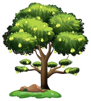 Perenfruitboom die op witte achtergrond wordt geïsoleerd