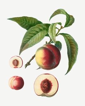 Perzik fruitboom