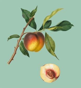 Perzik van de illustratie van pomona italiana
