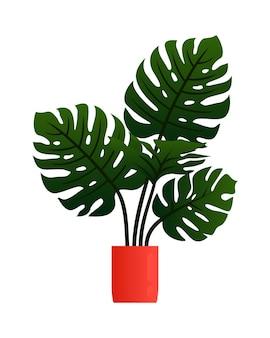 Philodendron monstera deliciosa plant in pot