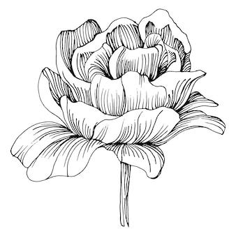 Pioenbloem, gravure vintage illustratie