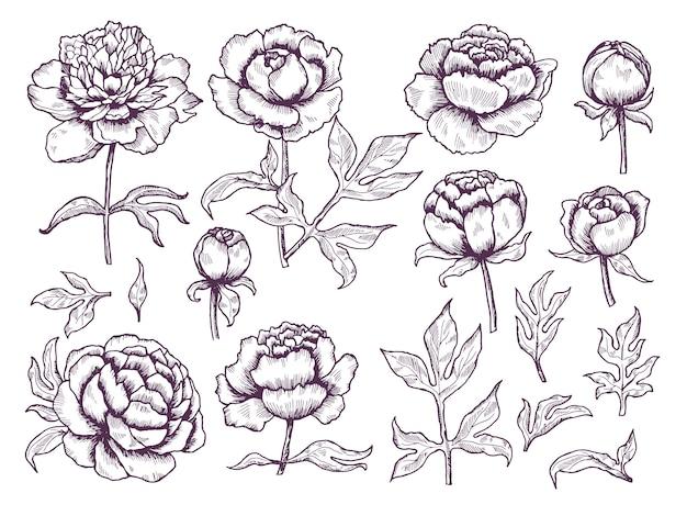 Pioenrozen doodle. bladeren en knoppen bloemen afbeeldingen botanische hand getrokken collectie