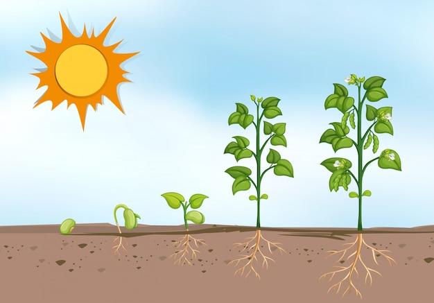 Planten groeien in verschillende stadia