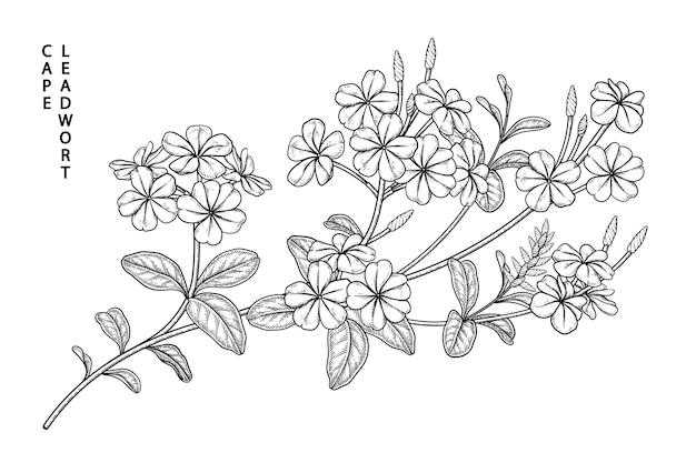 Plumbago auriculata (cape leadwort) bloemtekeningen.