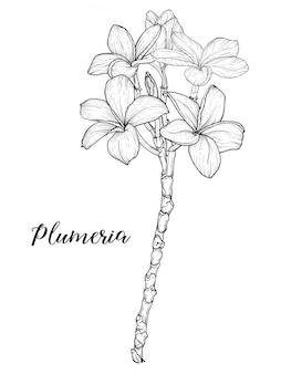 Plumeria bloemen tekenen en schetsen met lineaire kunst