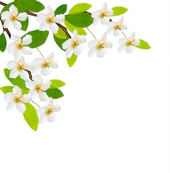 Prachtige lente witte bloemen geïsoleerd Premium Vector
