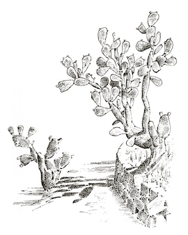 Prikkelige peer cactus. planten gegraveerd hand getrokken in oude schets, vintage stijl. mexicaanse opuntia, flora en fauna. botanische tuin.