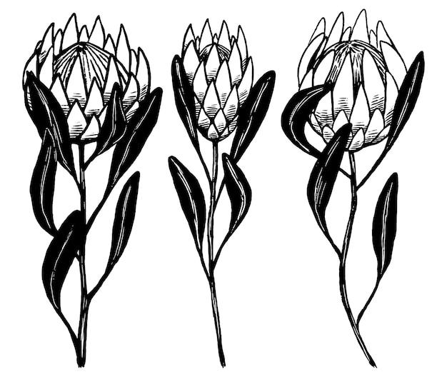 Protea tropische bloemen set. collectie van exotische planten. vintage botanische inkt schetsen geïsoleerd op wit. hand getekend vectorillustratie. zwarte abstracte elementen voor design.
