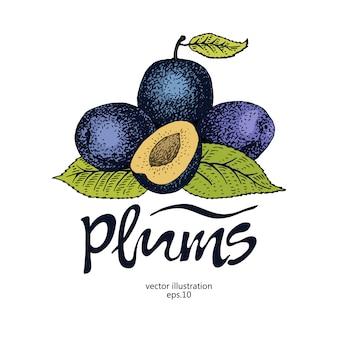 Pruim retro vectorillustratie. botanische fruit logo sjabloon. gegraveerde bessenpruim.