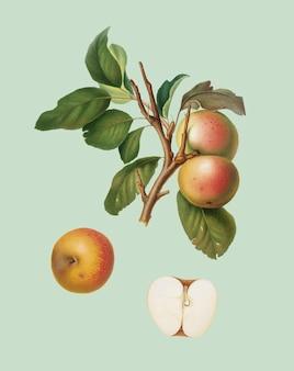 Pupina apple van pomona italiana-illustratie