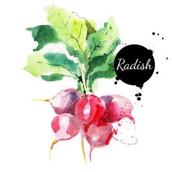 Radijs met blad. hand getekend aquarel op witte achtergrond. vector illustratie
