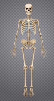 Realistisch menselijk skelet