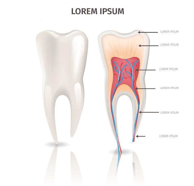 Realistische afbeelding tand anatomie in 3d-vector