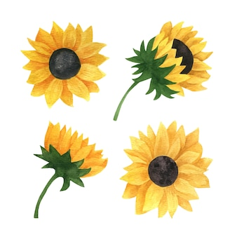 Realistische aquarel zonnebloemen collectie voor cadeaukaart uitnodiging bruiloft menu