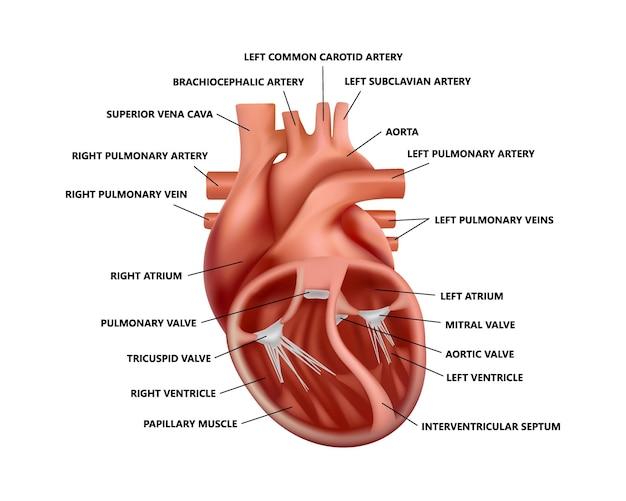 Realistische dwarsdoorsnede hartanatomie met beschrijvingen diagram van anatomisch correct hart