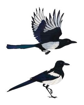 Realistische ekster die vliegt en zit. kleurrijke illustratie van intelligente vogel euraziatische ekster in de hand getekende realistische stijl geïsoleerd op een witte achtergrond.