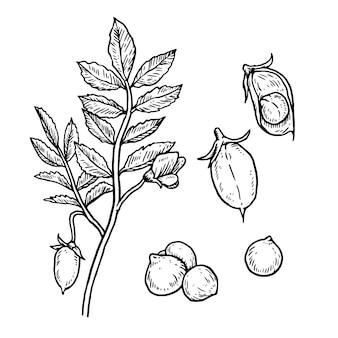 Realistische hand getrokken illustratie kikkererwten bonen en plant