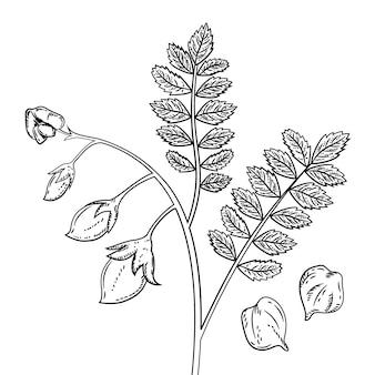 Realistische hand getrokken kikkererwtenbonen en plant