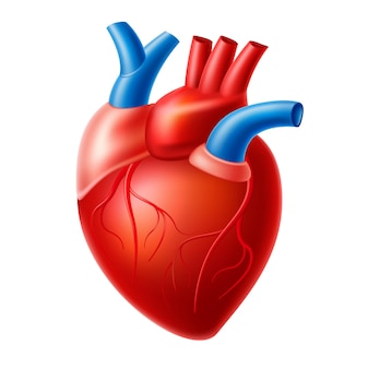 Realistische hartanatomiestructuur. bloedsomloop orgel, hartspier met aorta, aders. menselijk hart voor medische medicijnen, apotheek en onderwijsontwerp.