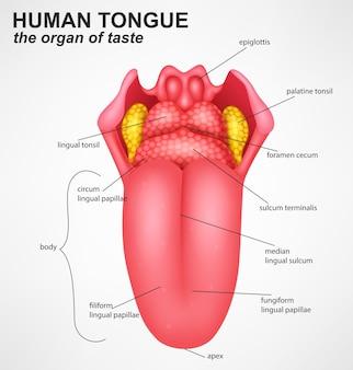 Realistische structuur van de menselijke tong