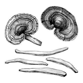 Reishi paddestoelen handgetekende illustraties set.