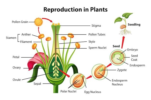 Reproductie in plantendiagram