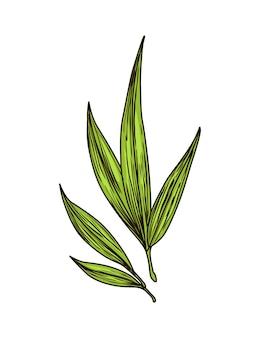 Rietsuiker. suikerriet plant. gravure met de hand getekend natuurlijk biologisch voedsel of natuurlijk ingrediënt. verse suikerbamboe.