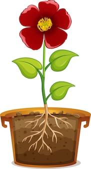 Rode bloem in aarden pot op witte achtergrond