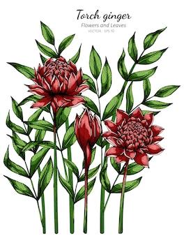 Rode fakkel gember bloem en blad tekening illustratie met lijntekeningen op wit.