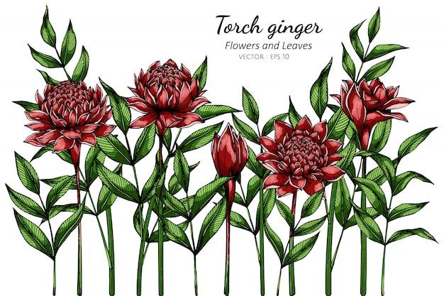 Rode fakkel gember bloem en blad tekening illustratie met lijntekeningen op wit