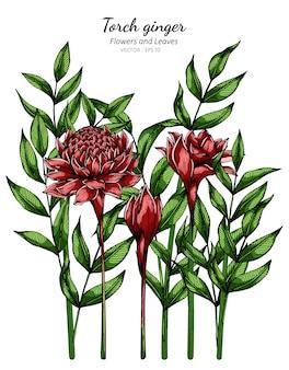 Rode fakkel gember bloem en blad tekening illustratie met lijntekeningen op witte achtergronden.