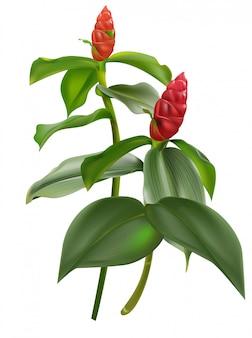 Rode gemberbloem met groene bladerenillustratie
