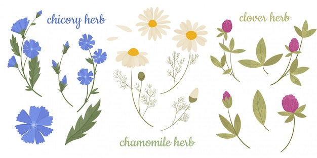 Rode of roze klaver of trifolium repens, cichorei, kamille. wilde bloemen en geneeskrachtige kruiden. ontwerp voor kruidenthee, natuurlijke cosmetica, parfum, producten voor de gezondheidszorg, homeopathie, aromatherapie.