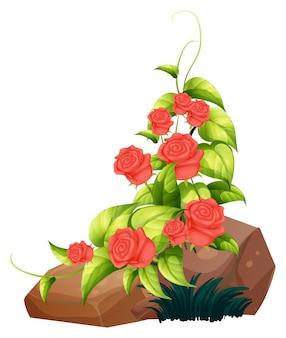 Rode rozen en rotsen op wit