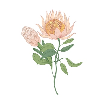 Roze bloeiende bloemen protea of sugarbush die op wit worden geïsoleerd