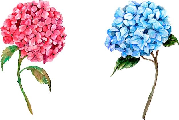 Roze en blauwe hortensia's op wit