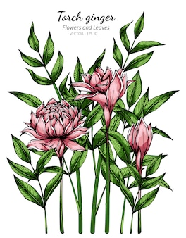 Roze fakkel gember bloem en blad tekening illustratie met lijntekeningen op wit.