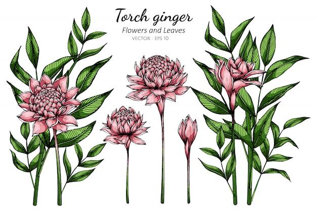 Roze fakkel gember bloem en blad tekening illustratie met lijntekeningen op witte achtergronden.