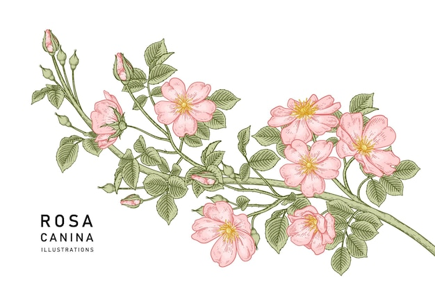 Roze hondsroos (rosa canina) bloem hand getrokken botanische illustraties.