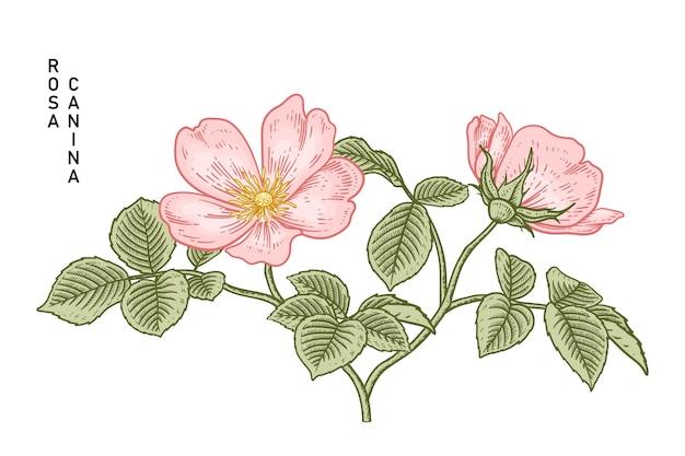 Roze hondsroos (rosa canina) bloem hand getrokken illustraties.