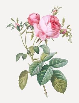 Roze kool roos