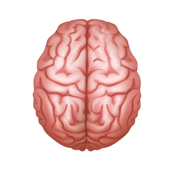 Roze menselijk brein bovenaanzicht close-up