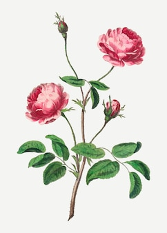 Roze roos vector vintage bloemsierkunst print, geremixt van kunstwerken van john edwards