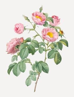 Roze rozen in bloei