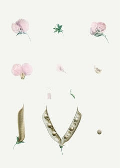 Roze vlinder erwt bloem