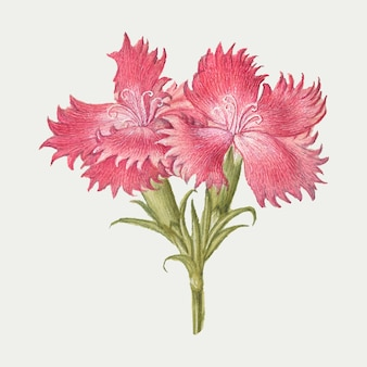 Roze zoete william bloesem illustratie